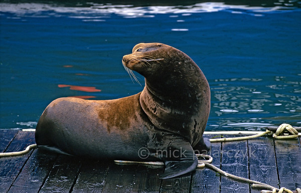 [USA.OREGON 28782] 'Sea lion in Newport.'  	California sea lion on a pontoon in the harbor of Newport. Photo Mick Palarczyk.