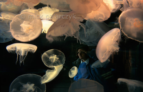 [USA.OREGON 28773] 'Oregon Coast Aquarium.'  	Jelly-fish in the Oregon Coast Aquarium at Newport. Photo Mick Palarczyk.