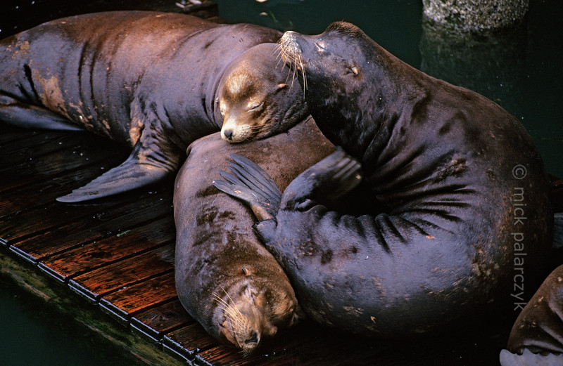 [USA.OREGON 28779] 'Sea lions in Newport.'  California sea lions occupy a pontoon in the harbor of Newport. Their dog-like barks and playful behavior are an attraction for visitors of the Bayfront area. Photo Mick Palarczyk.