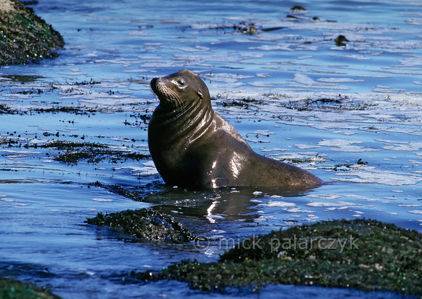 [USA.OREGON 28804] 'Sea lion at Cape Arago.'  A California sea lion is emerging from the water at North Cove, a small bay just north of Cape Arago (west of Coos Bay). Photo Mick Palarczyk.