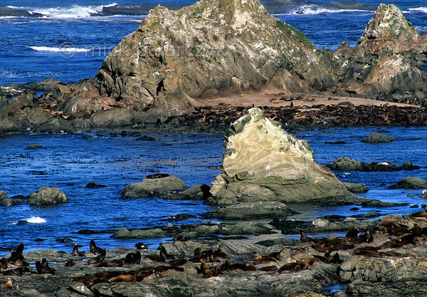 [USA.OREGON 28800] 'Sea lions at Simpson Reef.'  During low tide a large colony of California sea lions occupies Simpson Reef north of Cape Arago (west of Coos Bay). Photo Mick Palarczyk.