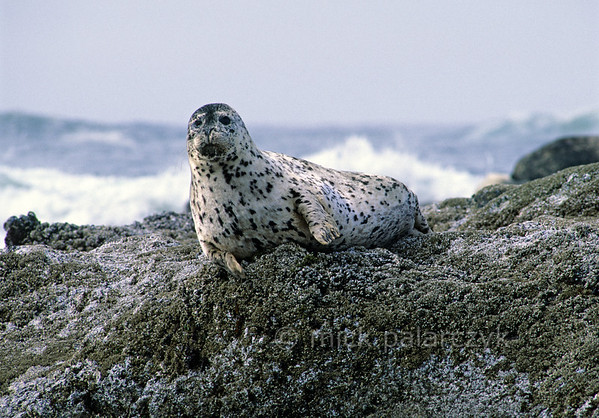 [USA.OREGON 28787] 'Seal at Strawberry Hill.'  	The small promontory of Strawberry Hill, 6 km south of Yachats, is a good stake-out for observing seals. Photo Mick Palarczyk.