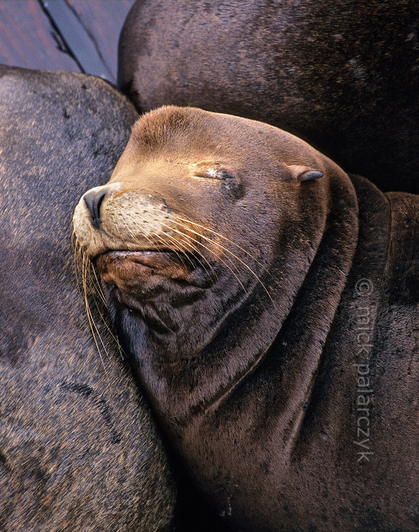 [USA.OREGON 28776] 'Sea lions in Newport.'  California sea lions occupy a pontoon in the harbor of Newport. Their dog-like barks and playful behavior are an attraction for visitors of the Bayfront area. Photo Mick Palarczyk.