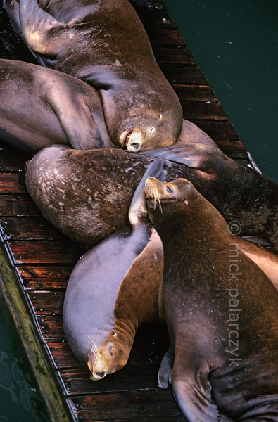 [USA.OREGON 28780] 'Sea lions in Newport.'  	California sea lions occupy a pontoon in the harbor of Newport. Their dog-like barks and playful behavior are an attraction for visitors of the Bayfront area. Photo Mick Palarczyk.