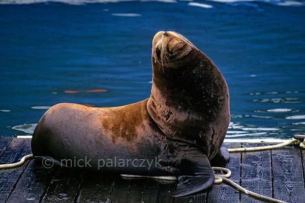 [USA.OREGON 28781] 'Sea lion in Newport.'  California sea lion on a pontoon in the harbor of Newport. Photo Mick Palarczyk.