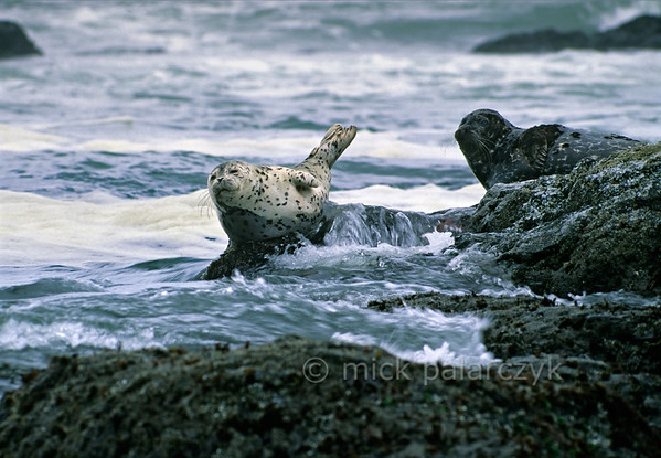 [USA.OREGON 28786] 'Seals at Strawberry Hill.'  	The small promontory of Strawberry Hill, 6 km south of Yachats, is a good stake-out for observing seals. Photo Mick Palarczyk.