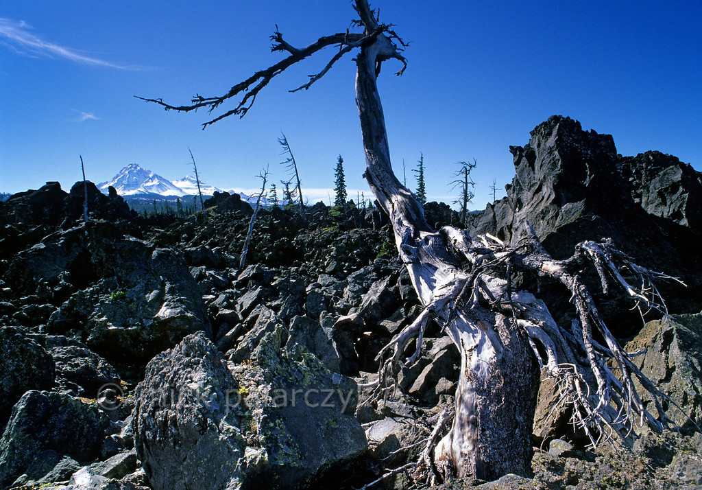 [USA.OREGON 28854] 'Lava field at the Mc. Kenzie Pass.'  Vegetation struggles to survive on the 3000 year old lava field at the Mc. Kenzie Pass in the Cascades Mountain Range. On the horizon are the snowcapped volcanoes known as The Sisters which were responsible for the lava outflow. The lava in this area is called block lava. The jagged blocks were formed as the lava cooled rapidly on the surface of the flow while molten lava beneath continued to flow. Like ice breaking up on a river, the blocks were broken and jumbled. Photo Mick Palarczyk.