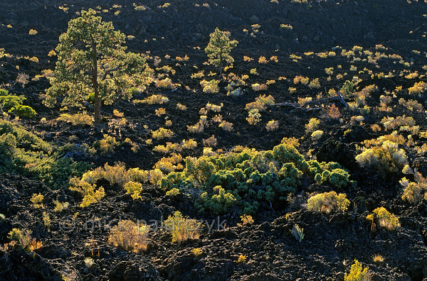 [USA.OREGON 28868] 'Lava field near Bend.'  	Sparse vegetation, catching the last rays of the setting sun, stands out on the black lava field that erupted from the nearby cinder cone of Lava Butte, south of Bend, 7000 years ago. Photo Mick Palarczyk.