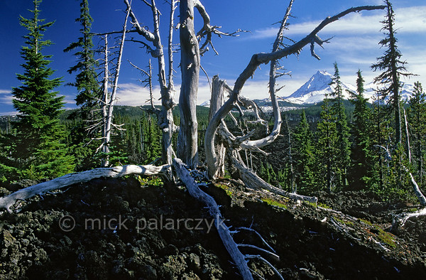 [USA.OREGON 28852] 'Lava field at the Mc. Kenzie Pass.'  	A dead tree straddles the 3000 year old lava field at the Mc. Kenzie Pass in the Cascades Mountain Range. On the horizon to the right are the snowcapped volcanoes known as The Sisters which were responsible for the lava outflow. Photo Mick Palarczyk.