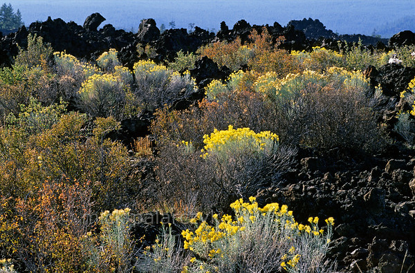 [USA.OREGON 28866] 'Lava field near Bend.'  The yellow flowers of Rabbit Brush (Chrysothamnus nauseosus) form a stark contrast to the black lava field that erupted from the nearby cinder cone of Lava Butte, south of Bend, 7000 years ago. Photo Mick Palarczyk.