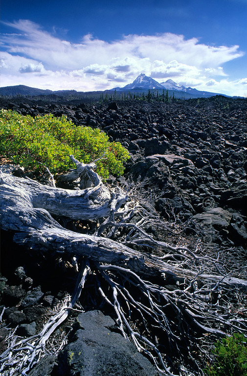 [USA.OREGON 28853] 'Lava field at the Mc. Kenzie Pass.'  	Vegetation struggles to survive on the 3000 year old lava field at the Mc. Kenzie Pass in the Cascades Mountain Range. On the horizon are the snowcapped volcanoes known as The Sisters which were responsible for the lava outflow. Photo Mick Palarczyk.