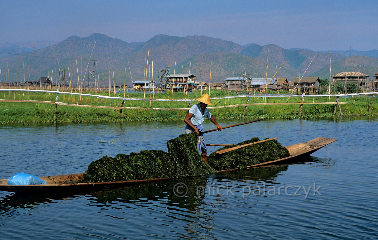 [BURMA 24.818] 'Collecting waterplants.'  A villager of the Inle Lake is collecting a mass of waterplants that will be used, together with mud, to create a new floating garden. Behind him, such gardens are visible, staked to the lake bottom with bamboo poles. Photo Mick Palarczyk.