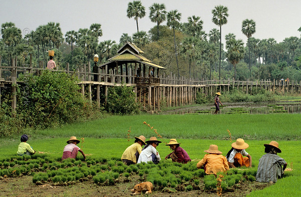 [BURMA 24.969] 'Stilted walkway at Ma Au village.'  	In a field at Ma Au village on the west bank of the Chindwinn River, a group of women is collecting young rice plants that are about to be replanted in the watery field at the base of the stilted walkway. The Chindwinn is a tributary of the Irrawaddy. Photo Mick Palarczyk.
