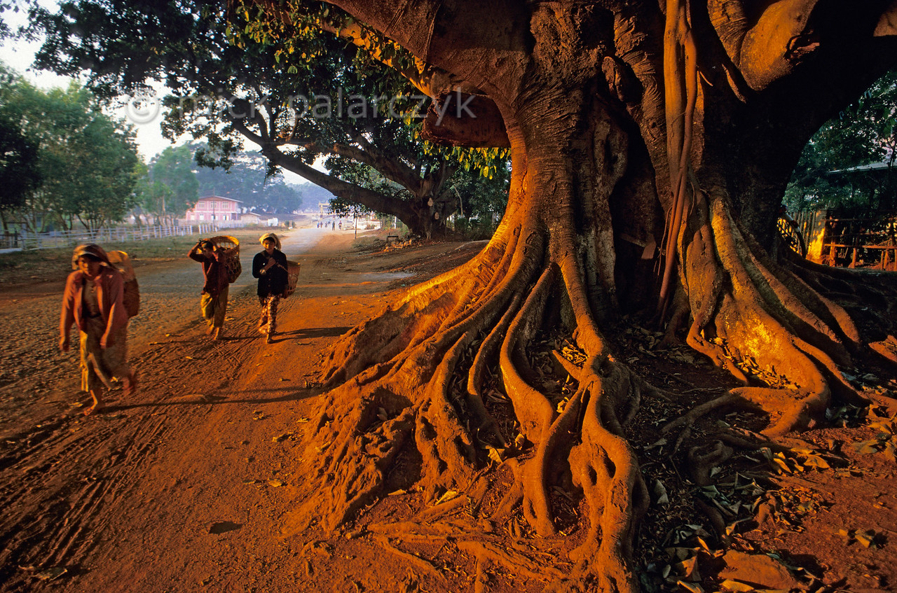 [BURMA 24.789] 'Tree at Pindaya.'  The gnarled roots of an ancient tree catch the first sunlight at Pindaya, in the highlands north of Kalaw. Photo Mick Palarczyk.