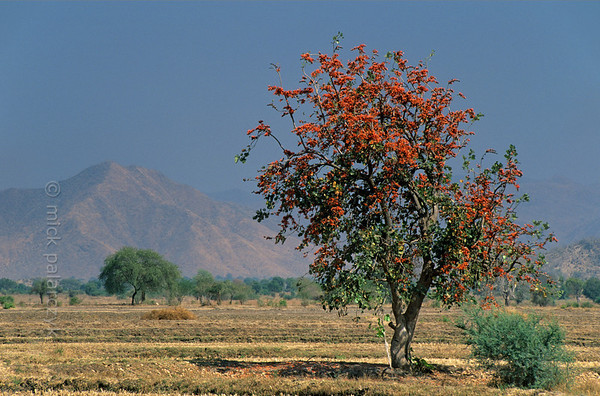 [BURMA 24.764] 'Flame of the Forest.'  	At the foot of the Shan highlands, the red flowers of this Flame of the Forest (Butea Monosperma) are lighting up a parched plain north of Pyawbwe. Photo Mick Palarczyk.