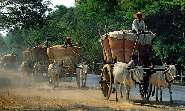 [BURMA 25.001] 'Grain transport.'  	A wagon-train of ox-carts transports freshly harvested grain over the east bank of the Chindwinn River (a tributary of the Irrawaddy) between Monywa and Chaung-U. Photo Mick Palarczyk.