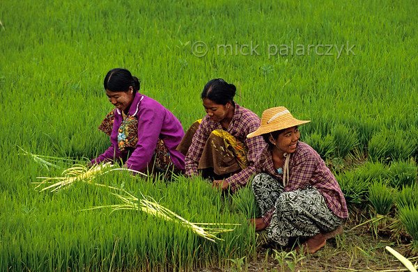 [BURMA 24.977] 'Collecting young rice plants.'  	In a field at Ma Au village on the west bank of the Chindwinn River, a group of women is collecting young rice plants. The Chindwinn is a tributary of the Irrawaddy. Photo Mick Palarczyk.