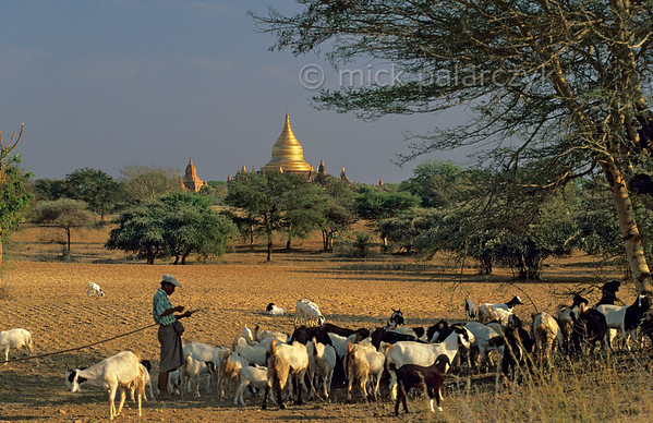 [BURMA 24.937] 'Feeding the goats.'  	Near Pwasaw village on the Bagan plain a shepherd has just shaken the seed-pods from a tree with a hook on a long pole. The pods serve as food for his goats. In the background shimmers the golden dome of the Dhammayazika Stupa. Photo Mick Palarczyk.