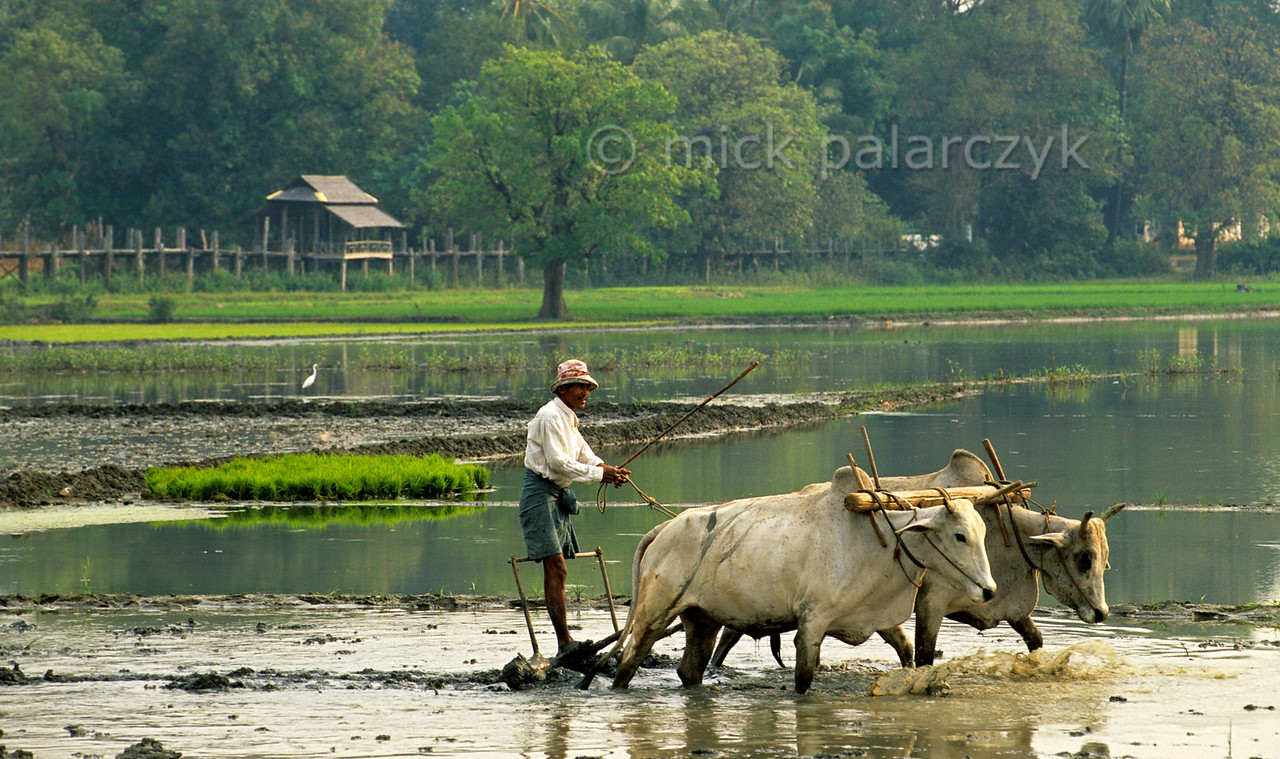 [BURMA 24.963] 'Plowing in Ma Au.'  A farmer is plowing his rice-field near Ma Au village on the west bank of the Chindwinn River, north of Pakokku. The Chindwinn is a tributary of the Irrawaddy. Photo Mick Palarczyk.