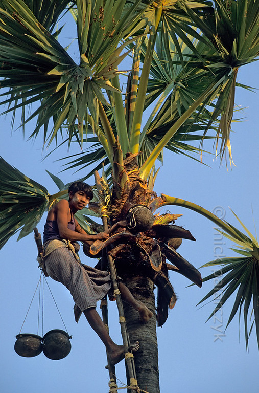 [BURMA 24.871] 'Collecting palm juice.'  	At Kyaukpadaung, south-east of Bagan, a boy collects sugary plant juice from the neck of a Palmyra palm in earthenware pots. The juice is used to make palm-wine. Photo Mick Palarczyk.