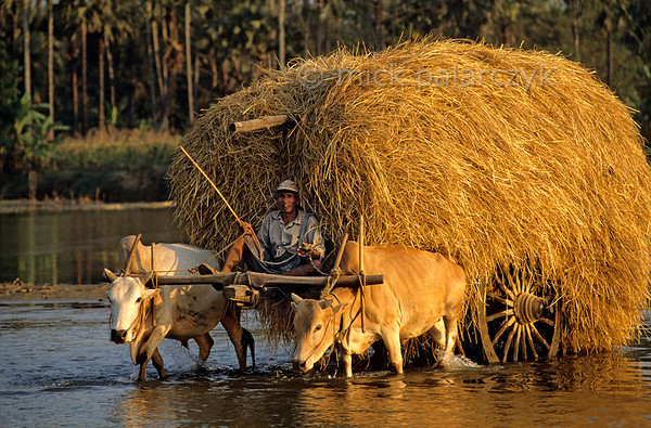 [BURMA 24.731] 'Hay-wagon.'  At Taungoo an ox drawn hay-wagon is crossing a tributary of the Sittang River. Photo Mick Palarczyk.