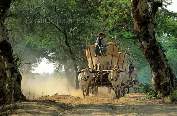 [BURMA 24.996] 'Grain transport.'  	A wagon-train of ox-carts transports freshly harvested grain over the east bank of the Chindwinn River (a tributary of the Irrawaddy) between Monywa and Chaung-U. Photo Mick Palarczyk.