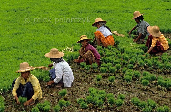 [BURMA 24.975] 'Collecting young rice plants.'  	In a field at Ma Au village on the west bank of the Chindwinn River, a group of women is collecting young rice plants. The Chindwinn is a tributary of the Irrawaddy. Photo Mick Palarczyk.