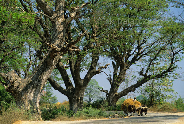 [BURMA 24.760] 'Acacias.'  	In the Sittang Valley north of Lewe an ox drawn hay-wagon lumbers on a road lined with ancient acacias. Photo Mick Palarczyk.