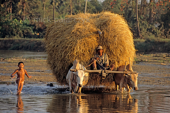 [BURMA 24.730] 'Hay-wagon and boy.'  	Accompanied by a bathing boy an ox drawn hay-wagon is crossing a tributary of the Sittang River at Taungoo. Photo Mick Palarczyk.