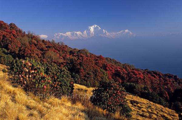 [NEPAL 27036] 'Dhaulagiri seen from Poon Hill.'  	On an early april morning the white peaks of the Dhaulagiri massif tower above rhododendron covered slopes of Poon Hill near the village of Ghorepani. Some of the rhododendrons are giants having height of over 25 meter. Photo Mick Palarczyk.
