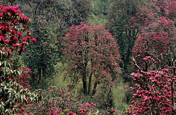 [NEPAL 27132] 'Colour explosion near Deurali.'  In april the mountain ridge between Ghorepani and Deurali in the Annapurna Conservation Area is covered in flowering rhododendron forests. Photo Mick Palarczyk.