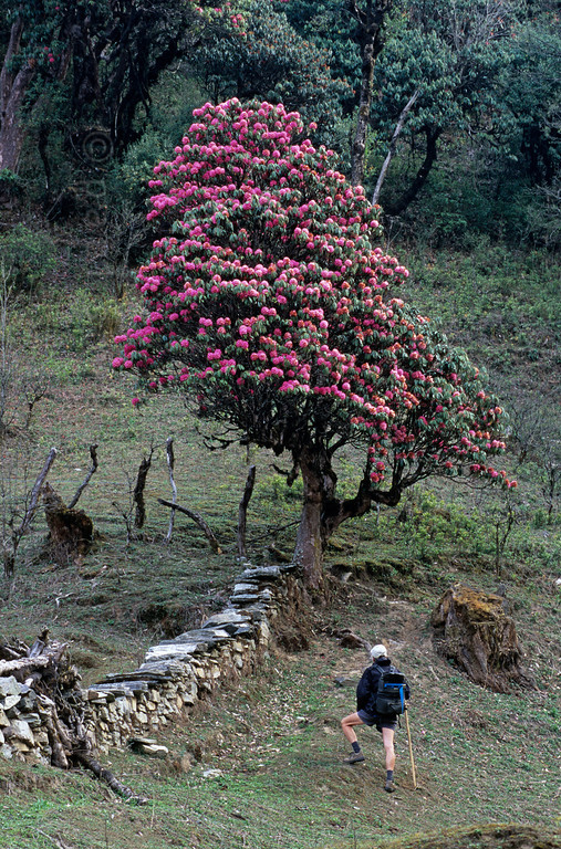 [NEPAL 27070] 'Rhododendron tree near Ghorepani.'  The valley slopes of the Bhurundi Khola, south of the village of Ghorepani (in the Annapurna Conservation Area), are colouring red with the flowers of rhododendron forests. The stems and branches of the trees, that can attain heights of over 25 meter, are covered with moss as a result of the wet conditions during the southwestern monsoon in the summer months. Photo Paul Smit
