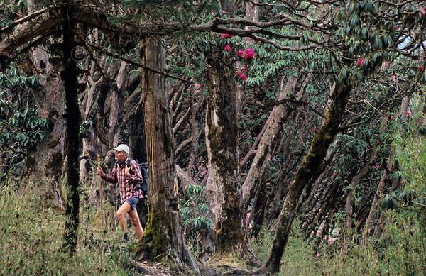 [NEPAL 27120] 'Hiking the rhododendron forest.'  When you hike the mountains around Ghorepani in the Annapurna Conservation Area in april the rhododendron forest will florish more the higher you go. Photo Paul Smit.