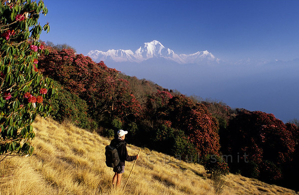 [NEPAL 27040] 'Dhalaugiri seen from Poon Hill'  On an early april morning the white peaks of the Dhalaugiri massif tower above rhododendron covered slopes of Poon Hill near the village of Ghorepani. Some of the rhododendrons are giants having height of over 25 meter. Photo Paul Smit.