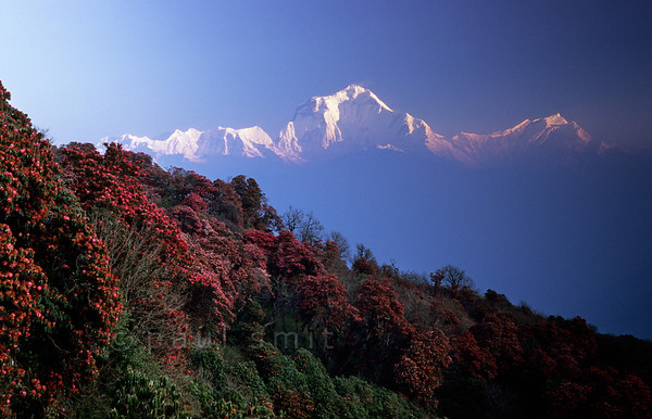 [NEPAL 27028] 'Dhaulagiri seen from Poon Hill'  	On an early april morning the white peaks of the Dhaulagiri massif tower above rhododendron covered slopes of Poon Hill near the village of Ghorepani. Some of the rhododendrons are giants having height of over 25 meter. Photo Paul Smit.