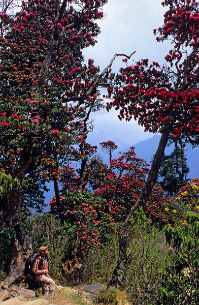 [NEPAL 27054] 'Giant rhododendrons on Poon Hill.'  	The forest on the slopes of Poon Hill, near the village of Ghorepani (in the Annapurna Conservation Area), consists of rhododendrons that can attain heights of over 25 meter. Photo Mick Palarczyk.
