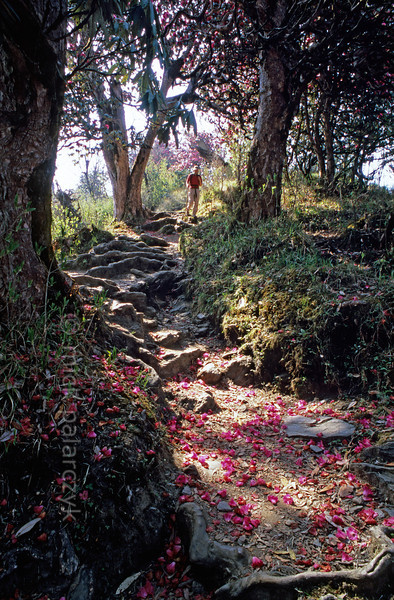[NEPAL 27089] 'Rhododendron flowers on mountain path.'  	Rhododendron flowers cover the mountain ridge path leading east from Ghorepani to Deurali in the Annapurna Conservation Area. Photo Mick Palarczyk.