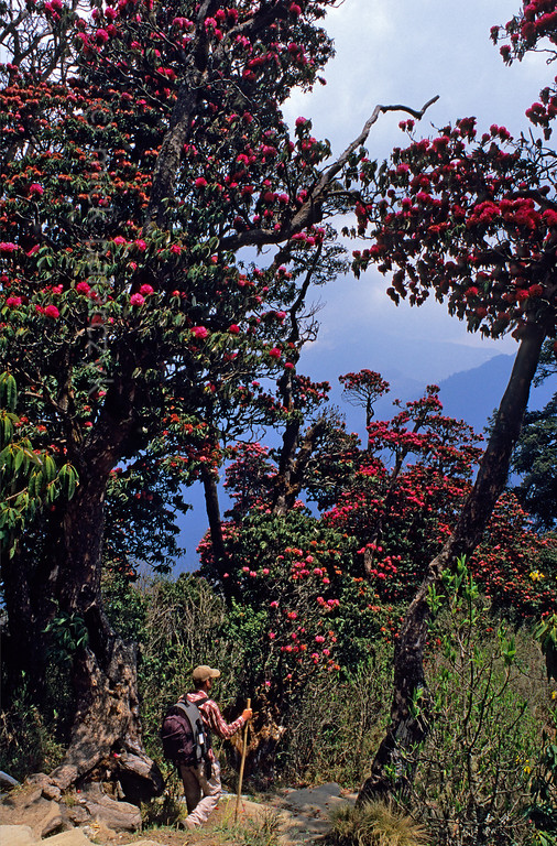 [NEPAL 27053] 'Giant rhododendrons on Poon Hill.'  The forest on the slopes of Poon Hill, near the village of Ghorepani (in the Annapurna Conservation Area), consists of rhododendrons that can attain heights of over 25 meter. Photo Mick Palarczyk.
