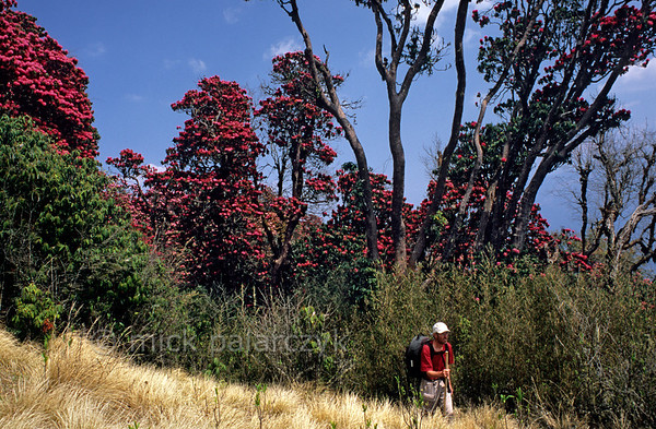 [NEPAL 27047] 'Giant rhododendrons on Poon Hill.'  The forest on the slopes of Poon Hill, near the village of Ghorepani (in the Annapurna Conservation Area), consists of rhododendrons that can attain heights of over 25 meter. Photo Mick Palarczyk.