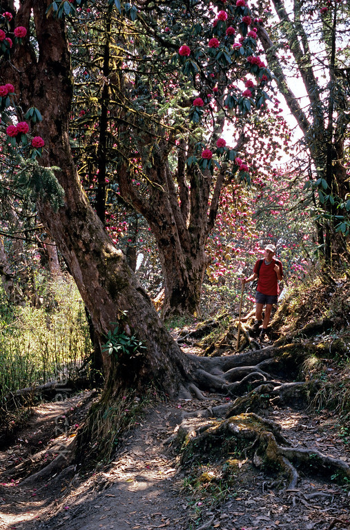 [NEPAL 27104] 'Path between Ghorepani and Deurali.'  	The roots of ancient rhododendron trees snarl across the mountain ridge path between Ghorepani and Deurali in the Annapurna Conservation Area. Photo Mick Palarczyk.