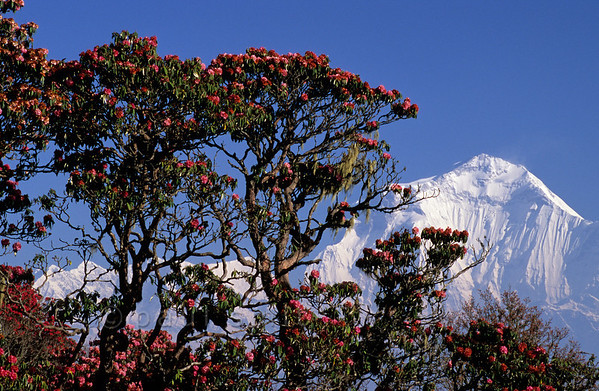 [NEPAL 27042] 'Dhalaugiri seen from Poon Hill'  On an early april morning the white peaks of the Dhalaugiri massif tower above rhododendron covered slopes of Poon Hill near the village of Ghorepani. Some of the rhododendrons are giants having height of over 25 meter. Photo Paul Smit.