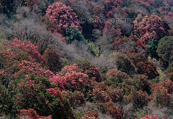 [NEPAL 27096] 'Rhododendron forest between Ghorepani and Deurali.'  In april the mountain ridge between Ghorepani and Deurali in the Annapurna Conservation Area is covered in flowering rhododendron forests. Photo Mick Palarczyk.