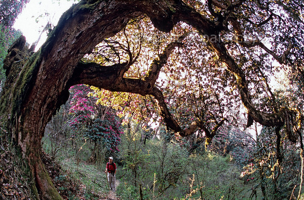 [NEPAL 27085] 'Ancient rhododendron tree near Ghorepani.'  	An ancient rhododendron tree bends its thick moss covered stem over a mountain ridge path leading east from Ghorepani to Deurali in the Annapurna Conservation Area. Photo Mick Palarczyk & Paul Smit.