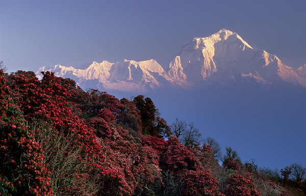 [NEPAL 27024] 'Dhalaugiri seen from Poon Hill'  On an early april morning the white peaks of the Dhalaugiri massif tower above rhododendron covered slopes of Poon Hill near the village of Ghorepani. Some of the rhododendrons are giants having height of over 25 meter. Photo Paul Smit.