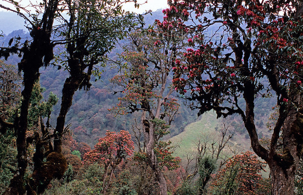 [NEPAL 27057] 'Valley of the Bhurundi Khola near Ghorepani.'  	The valley slopes of the Bhurundi Khola, south of the village of Ghorepani (in the Annapurna Conservation Area), are colouring red with the flowers of rhododendron forests. The stems and branches of the trees, that can attain heights of over 25 meter, are covered with moss as a result of the wet conditions during the southwestern monsoon in the summer months. Photo Mick Palarczyk.