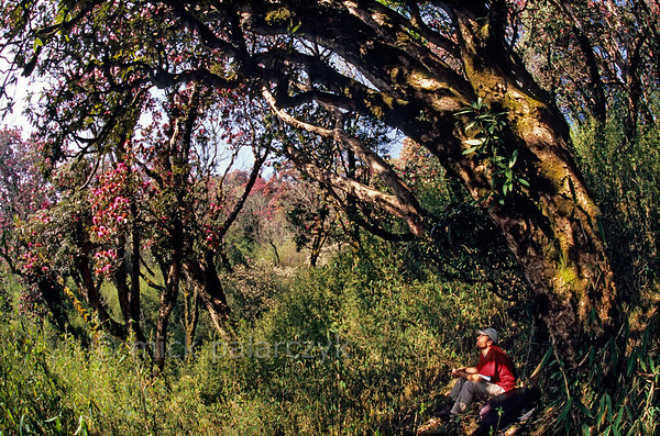 [NEPAL 27046] 'Rhododendrons and bamboo on Poon Hill.'  The rhododendron forest on the slopes of Poon Hill, near the village of Ghorepani (in the Annapurna Conservation Area), have a thick undergrowth of bamboo. Photo Mick Palarczyk.