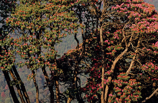 [NEPAL 27075] 'Rhododendron trees near Ghorepani.'  The valley slopes of the Bhurundi Khola, south of the village of Ghorepani (in the Annapurna Conservation Area) are colouring red with the flowers of rhododendron forests. The trees can attain heights of over 25 meter. Photo Paul Smit.
