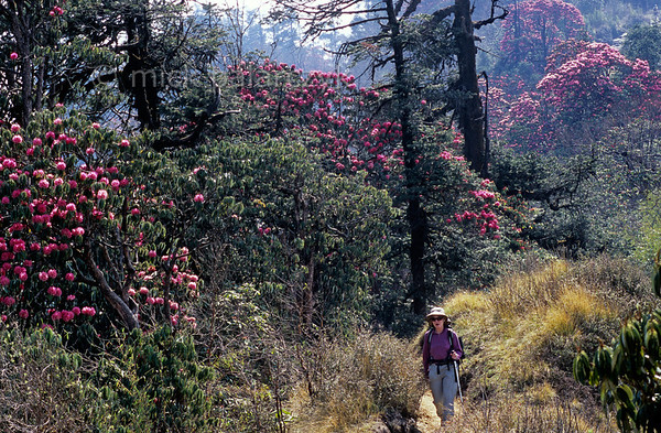 [NEPAL 27095] 'Hiking between Deurali and Ghorepani.'  Rhododendron trees line the mountain ridge path leading east from Ghorepani to Deurali in the Annapurna Conservation Area. Photo Mick Palarczyk.