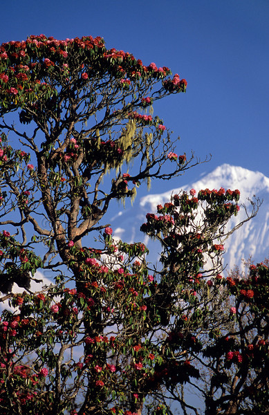 [NEPAL 27045] 'Dhalaugiri seen from Poon Hill'  	On an early april morning the white peaks of the Dhalaugiri massif tower above rhododendron covered slopes of Poon Hill near the village of Ghorepani. Some of the rhododendrons are giants having height of over 25 meter. Photo Paul Smit.