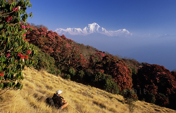 [NEPAL 27041] 'Dhalaugiri seen from Poon Hill'  On an early april morning the white peaks of the Dhalaugiri massif tower above rhododendron covered slopes of Poon Hill near the village of Ghorepani. Some of the rhododendrons are giants having height of over 25 meter. Photo Paul Smit.